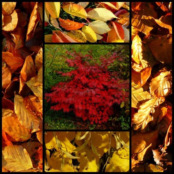 Japanese Maple in autumn dress